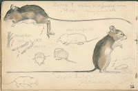 A page of sketches showing a mouse. Two have watercolors added.