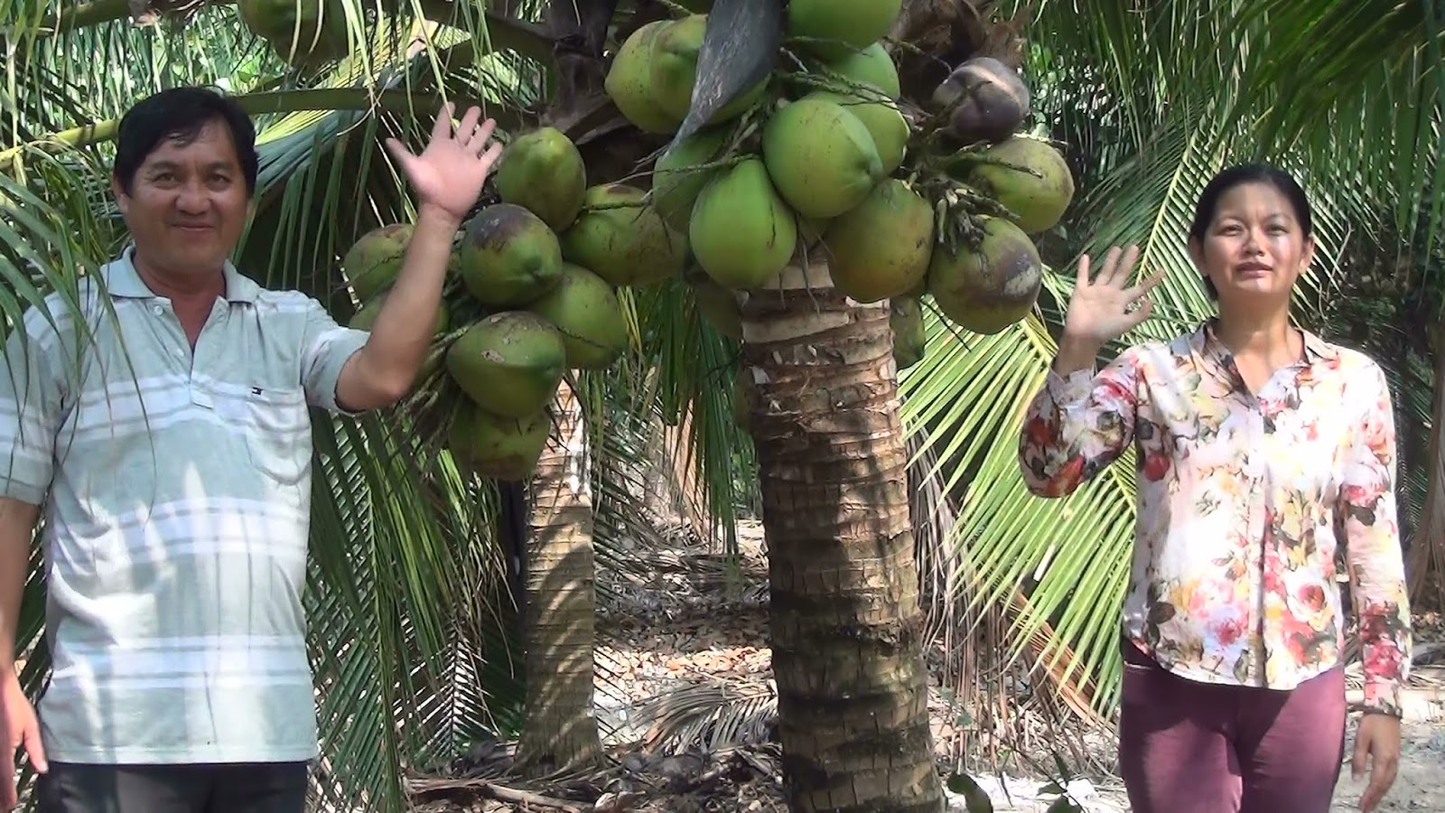 Coconut palm cultivation and use in Vietnam: The Trang ...