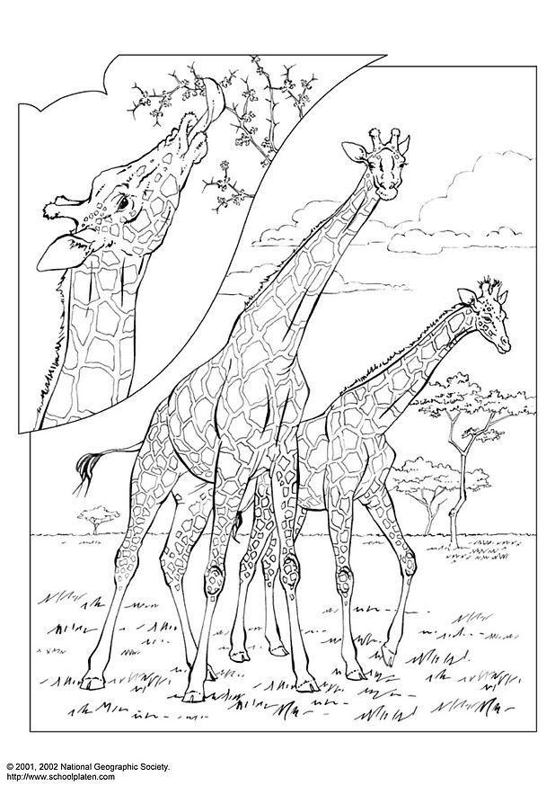 Girafa Desenhos Para Colorir