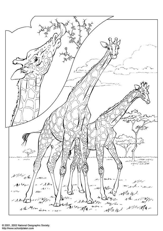 Kleurplaat Dieren Tijger Girafa Desenhos Para Colorir
