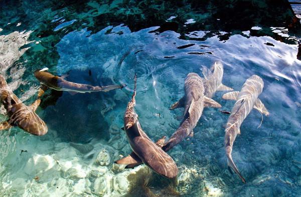 Ikan hiu jinak di Pulau Menjangan Besar Karimunjawa