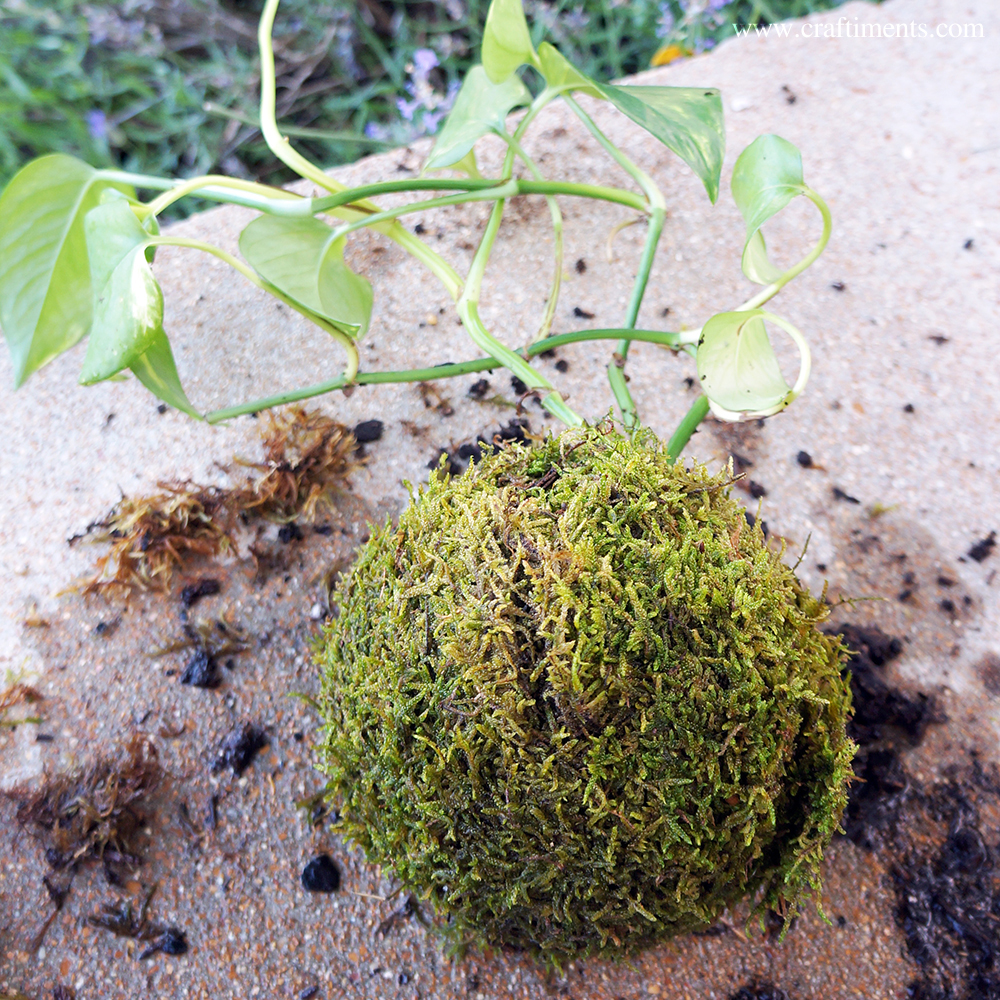 Moss covering ball of soil
