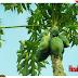 7 Rising Benefits and Employments of Papaya Leaf, Medicinal properties of papaya leaves