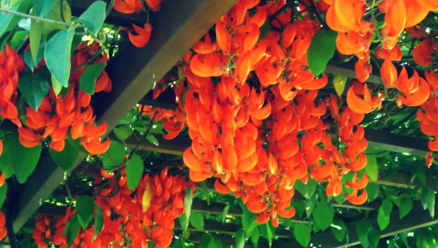Manfaat Flame of Irian Untuk Kesehatan