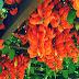 10 Manfaat Flame of Irian Untuk Kesehatan Dan Entheogenic