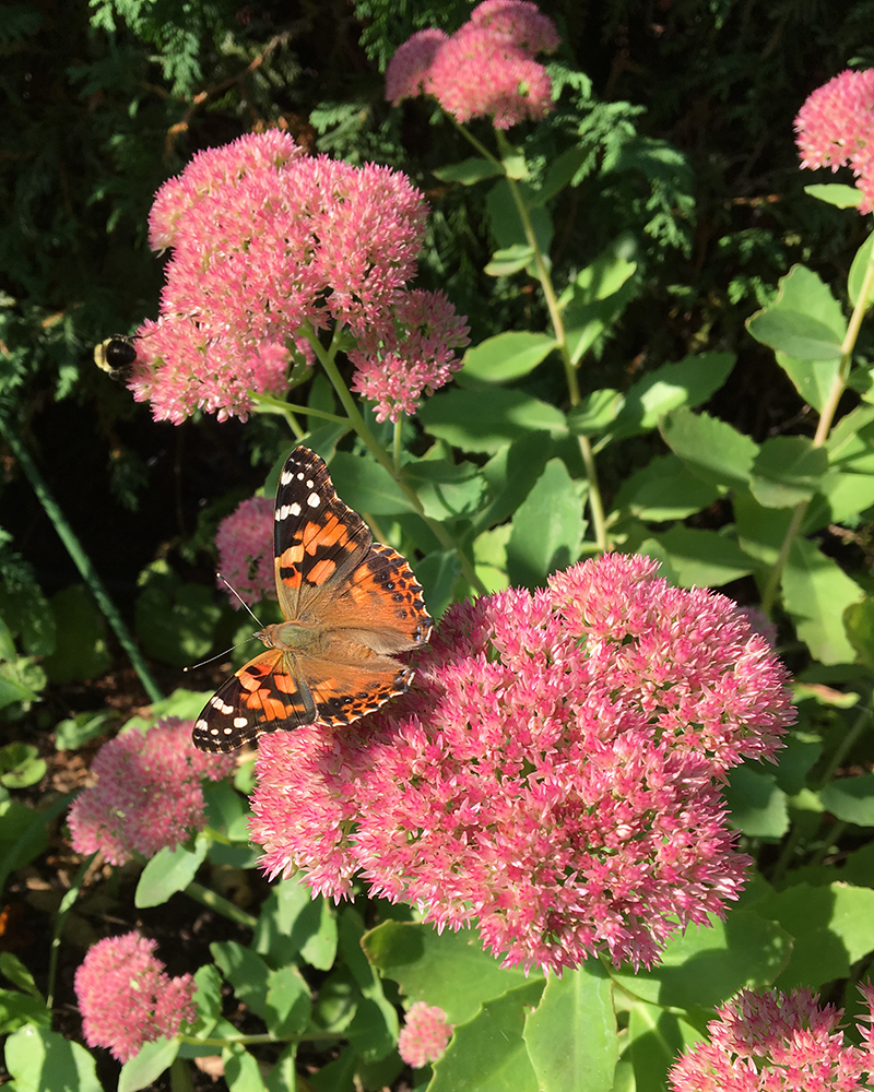 Photo of painted lady butterfly on sedum spectabile by Kathleen Maunder