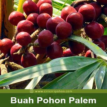 ciri ciri pohon buah palem