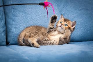 ¿Cómo jugar con un gato?