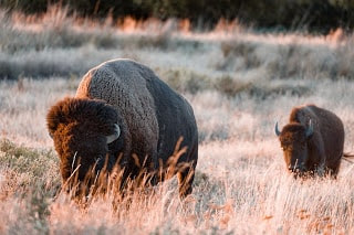 about bison animal in hindi