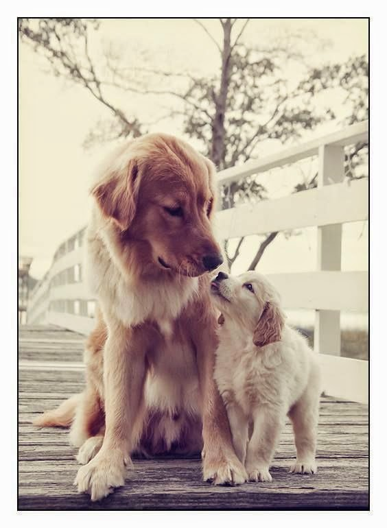 Cute Golden Retriever and his Baby Love