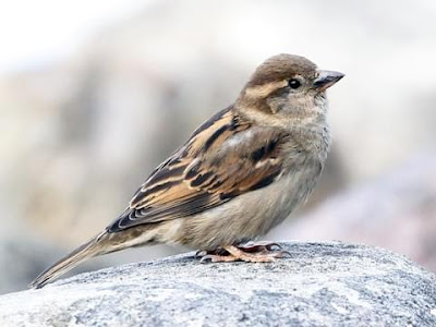 ID: a house sparrow stands on a light gray stone. The sparrow is a light gray-ish brown with light brown and black striped wings on its back.