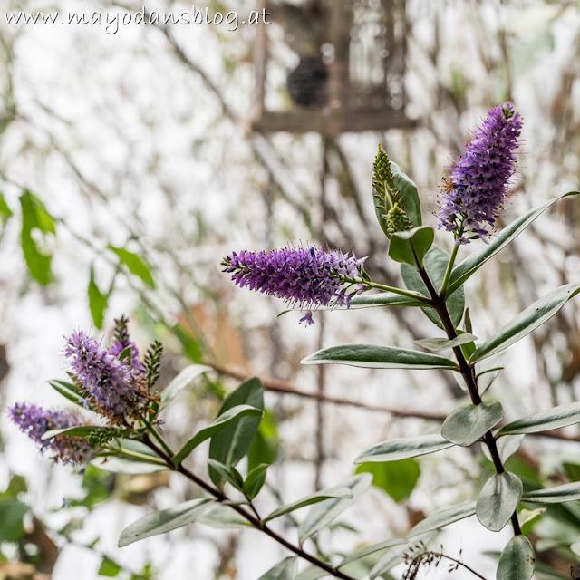 lila Hebestrauch im Wintergarten