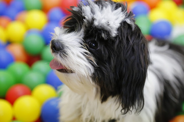 How to Care for  Shih Tzu - RictasBlog
