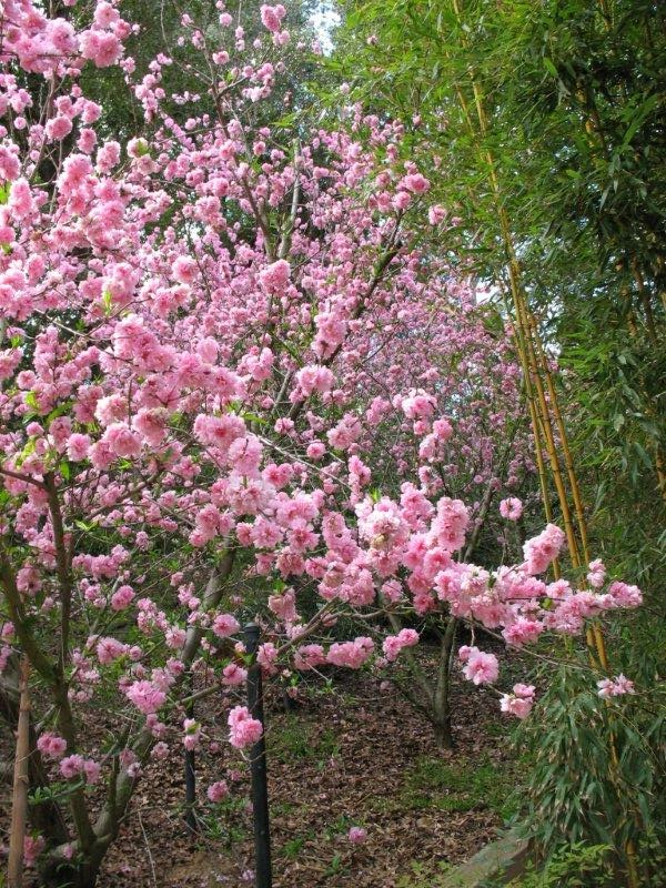 flowering peach blossoms