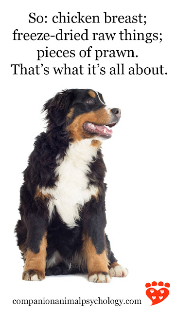 A Bernese Mountain dog spreads the word on training treats