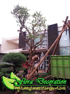 harga jual pohon kamboja fosil batang besar dengan harga murah dan terjangkau