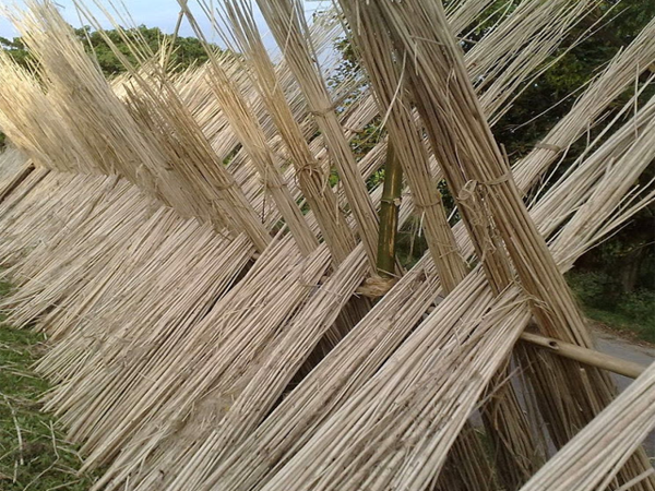 Cây đay sau khi thu hoạch được phơi khô từ 10-15 ngày