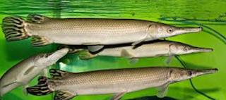 Ikan Aligator,