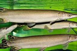 Ikan Aligator, Ikan Predator уаng Mirip Buaya