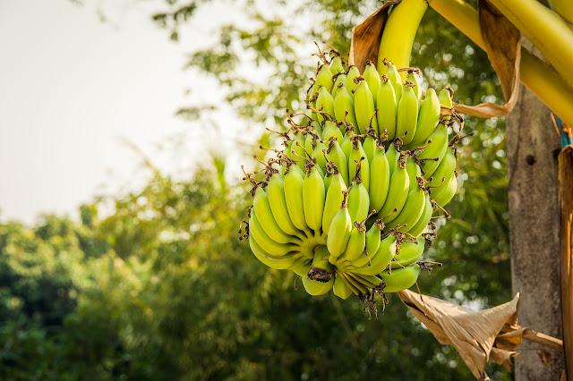 Banana  Agriculture Kerala