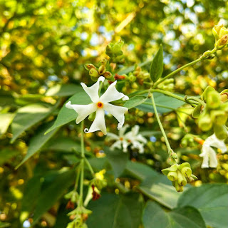 benefits of Parijat (Nyctanthes arbor-tristis) Herbal Arcade