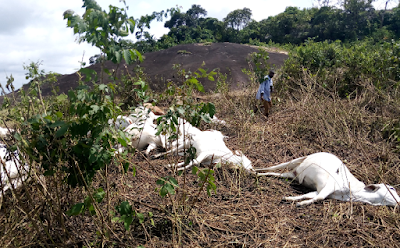 (Photos)Herdsmen Fled As Mysterious Thunder Strikes Over 30 Cows In Ondo Community