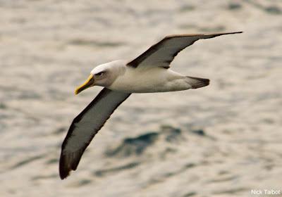 Buller´s Albatross