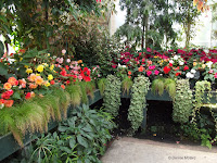 Multicolor begonias - Auckland Domain Conservatory, Auckland, New Zealand