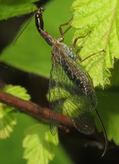 Snakefly, order Raphidioptera