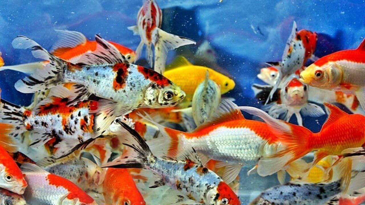 Ikan Nila Hias - Ikan Hias yang Kuat Hidup di Air Tawar