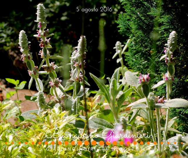 stachys lanata - il giardino dalla A alla Z - un giardino in diretta
