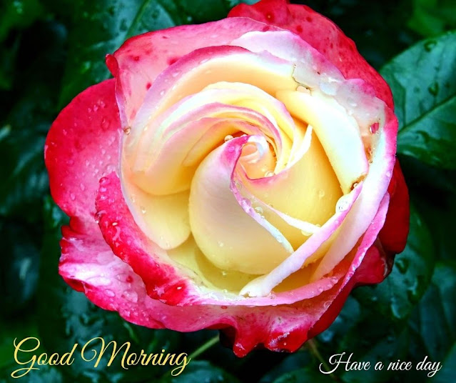 saxy rose good morning wishes