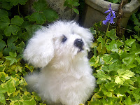 a bichon that I made .....