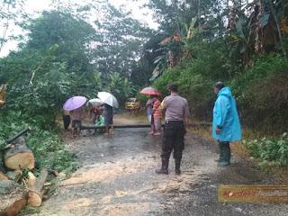 Pohon Randu 10 Meter Tumbang Timpa Kabel Listrik Didesa Bungu Jepara