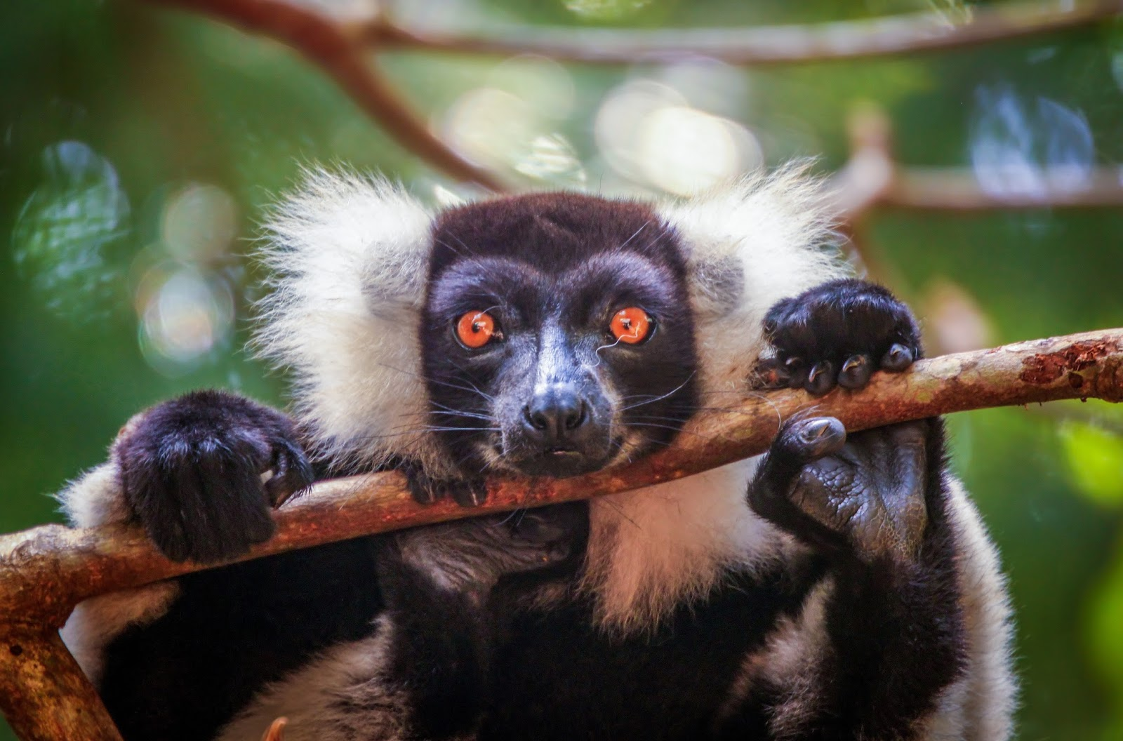 primates Pri ate (prī′mĭt, -māt′) n 1 (prī′māt′) any of various mammals of the order primates, which consists of the lemurs, lorises, tarsiers, new world monkeys, old world monkeys, and apes including humans, and is characterized by nails on the hands and feet, a short snout, and a large brain 2 a bishop of highest rank in a province or country [from new latin prīmātēs, order name, from latin prīmātēs, pl of prīmās, principal, of first rank, from prīmus, first see per.