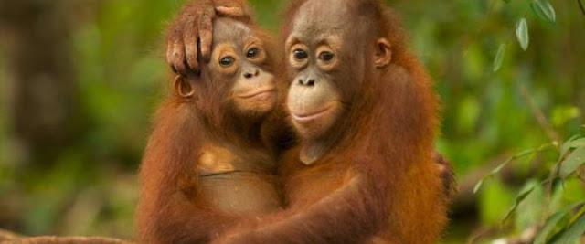orangutan satwa liar yang terancam punah cerita dunia
