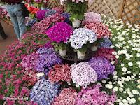 English daisy pomponette, flower show - Kyoto Botanical Gardens, Japan