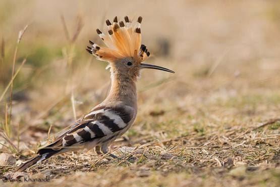 Inilah Burung Hud hud Yang Diceritakan Dalam Al Quran. Burung Yang Tunduk Kepada Kekuasaan Nabi Sulaiman.