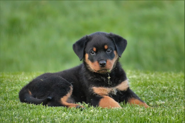 female Rottweiler rottweiler puppies for sale rottweiler puppies rottweiler dog puppies