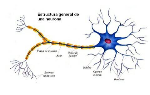 Biomoléculas, Células, Metabolismo y Neurona: NEURONA Y GLÍA