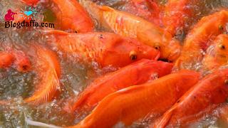 Memulai Budidaya Ikan Mas