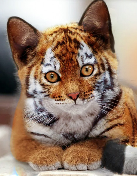 Toyger purebred cat? No, photo-editing of tiger cub + domestic cat