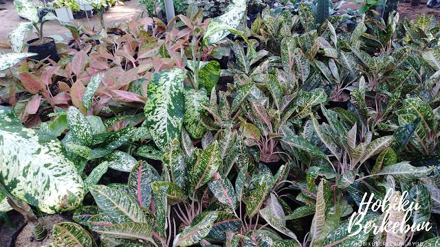 Tanaman aglaonema termasuk jenis tanaman hias