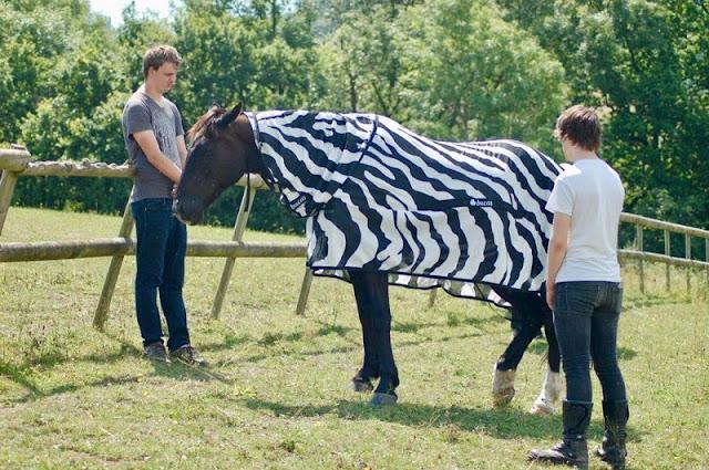 Perché le zebre hanno strisce? Per non essere morso dalle mosche, lo studio dice
