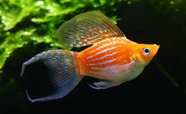 Ikan Molly - Ikan Hias Yang Kuat Hidup Tanpa Oksigen