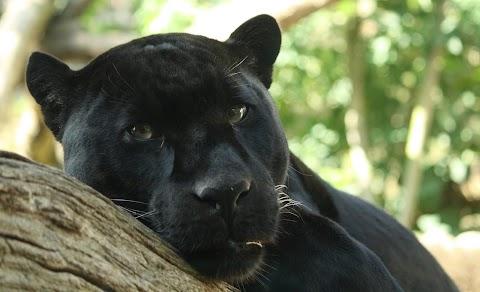 Újra látható lesz fekete párduc és foltos leopárd a Kecskeméti Vadaskertben