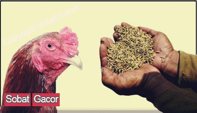 Manfaat Gabah Bagi Ayam Bangkok Aduan