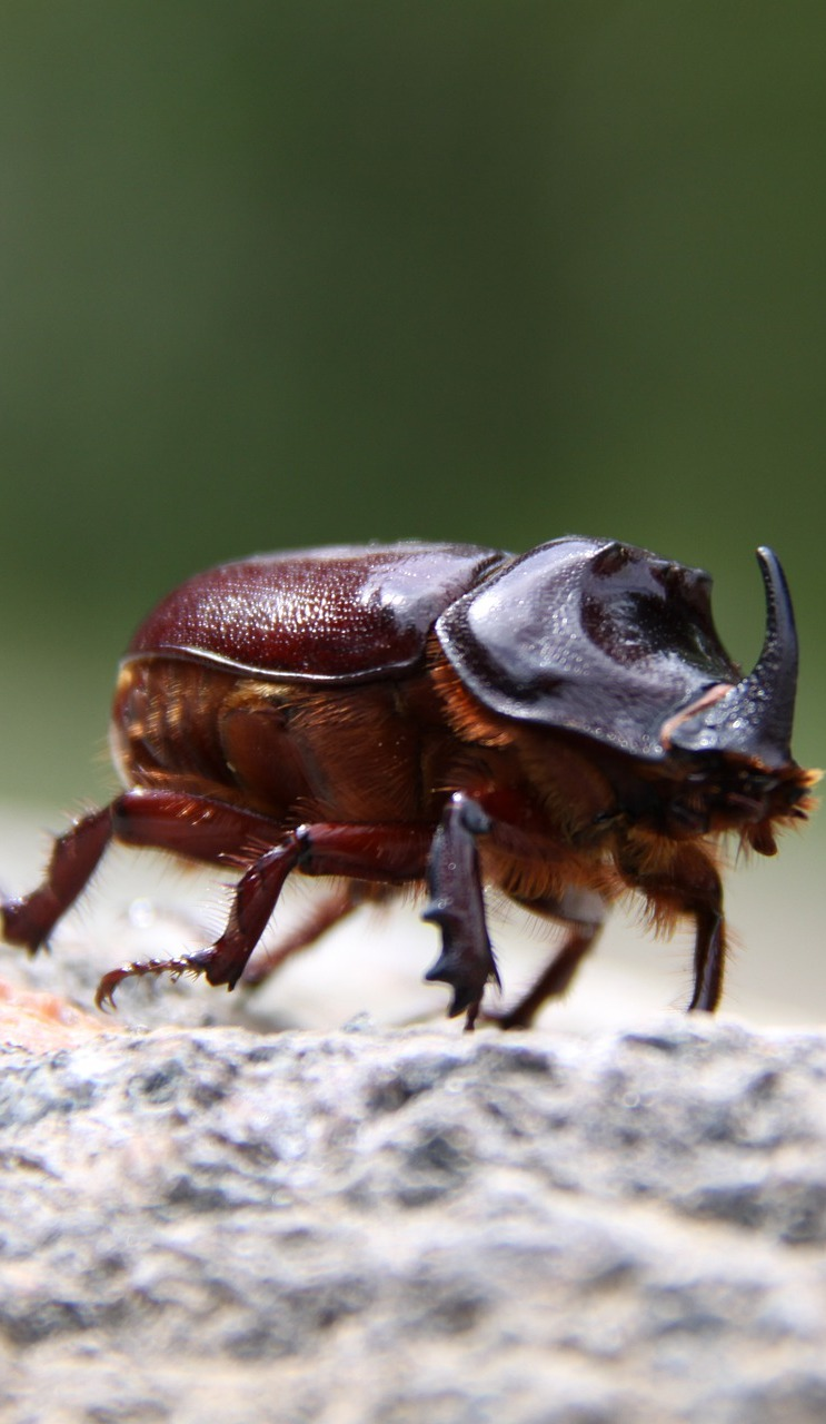 A male rhinoceros beetle.