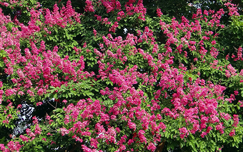 Small trees for tiny yards crape myrtle