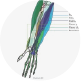 Flexor Muscles in the forearm